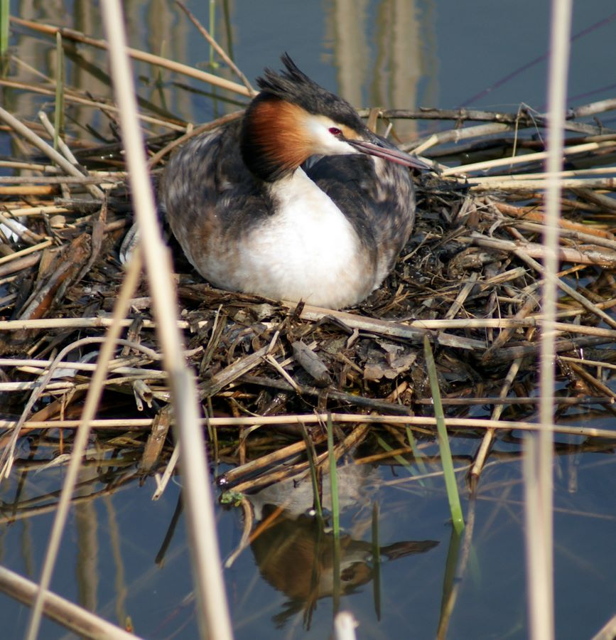 Nesting water fowl
