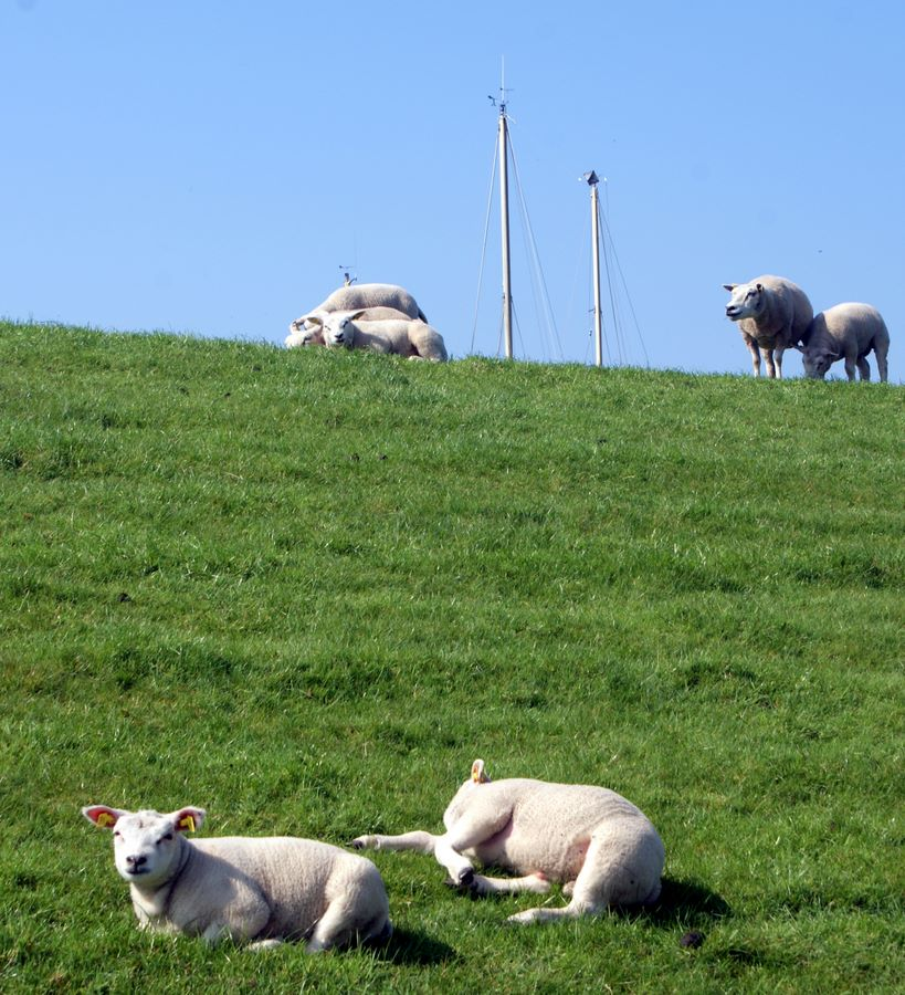 Sheep grazing the dike with masts from the marina in the backgorund, Stavoren