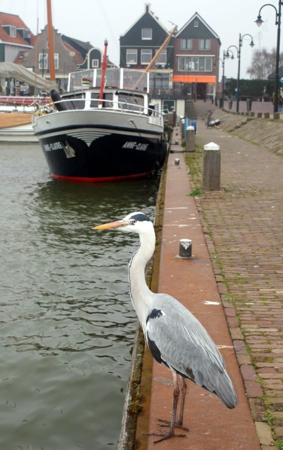 A heron on the wall at Volendam